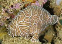 Histiophryne sp (?)- Frogfish - Ambon - Anglerfisch
