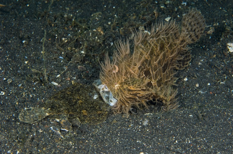 Hairy Frogfish (Antennarius striatus) has caught a flounder but is unable to swallow the fish because it is too large