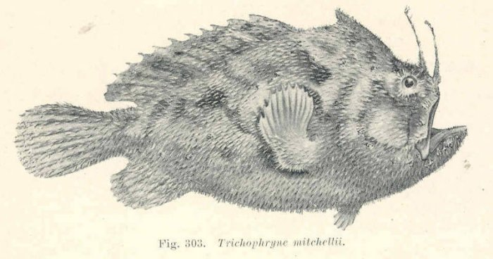 Echinophryne mitchelli (Mitchell's Frogfish, Long-spined anglerfish - Mitchell's