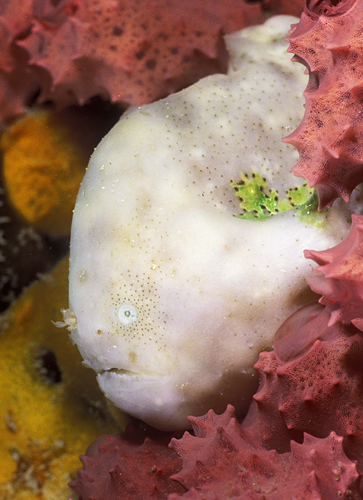 Bougainville's Frogfish (Smooth Angler) -  Histiophryne bougainvilli  - Bougainville's Anglerfisch
