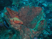 Giant frogfish (Antennarius commerson) - two frogfishes in a large sponge