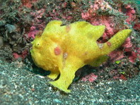 Painted frogfish (Antennarius pictus) juvenile - stretches its lure in front of the mouth (long rod)
