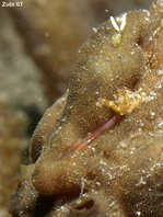 The lure of this Giant frogfish (Antennarius commerson) has been eaten but has grown back, only quite shorter than before