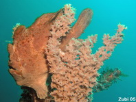 Giant frogfish (Antennarius commerson) - brown frogfish on brown sponge