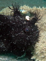 Black Striped or hairy frogfish (Antennarius striatus) - the appendages look like the spines of sea urchins