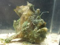 A Marble-Mouthed Frogfish (Lophiocharon lithinostomus ) with a lure which must have broken so it grey back bifurcated